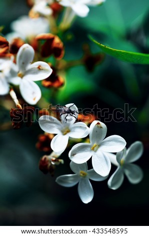 A close-up of an insect on white lilac flowers - stock photo