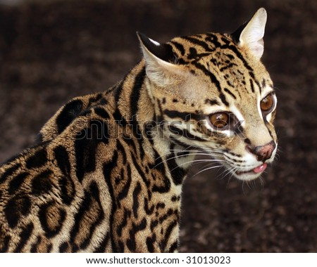 A close-up of an ocelot (leopardus pardalis) with its tongue out a bit