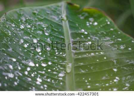 A close-up of banana leaf with water drops - stock photo