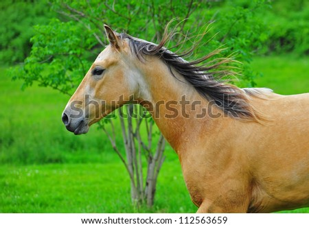 A close up of chestnut stallion running with a tree and lush green grass in the back ground. - stock photo