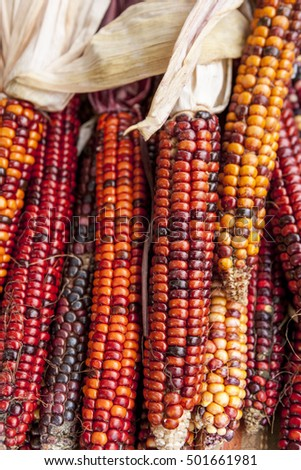 A close up of multi colored corn most common during the holidays.