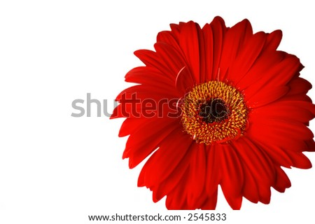 A close-up of red gerbera, isolated on a white background.