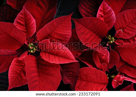 A close up of red vibrant poinsettia plants.  The plant is most commonly used for Christmas displays and themes.  - stock photo
