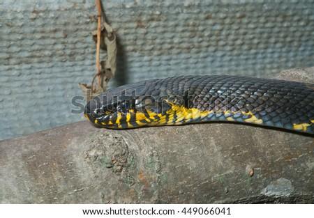 A close up of Schrenck's rat snake (Elaphe schrenckii). - stock photo