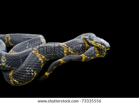 A close up of Schrenck's rat snake (Elaphe schrenckii). Isolated on black.