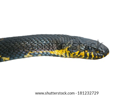 A close up of Schrenck's rat snake (Elaphe schrenckii). Isolated on white. - stock photo