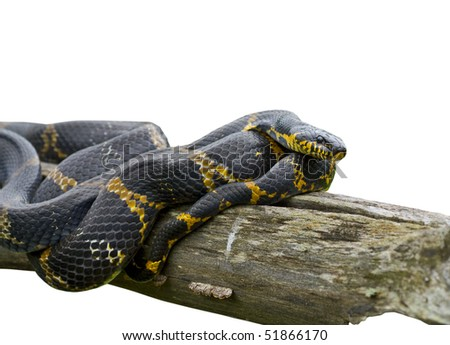 A close up of Schrenck's rat snake (Elaphe schrenckii) on log. Isolated on white. - stock photo