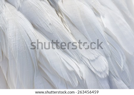 A close-up of Snow Goose (Chen caerulescens) feathers.  - stock photo