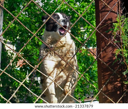 A close up of the barking angry husky after a fence. - stock photo