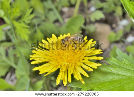 A close up of the bee on dandelion. - stock photo