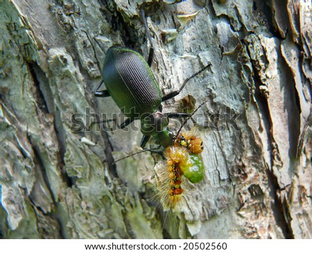 A close up of the beetle carabus