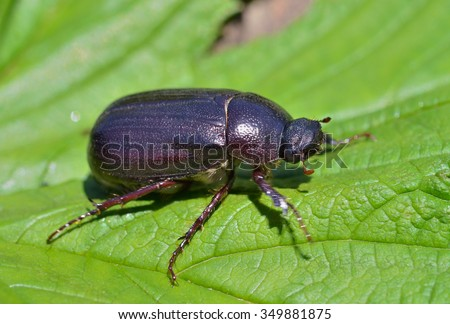 A close up of the beetle chafer on leaf. - stock photo