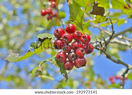 A close up of the berries of hawthorn. - stock photo