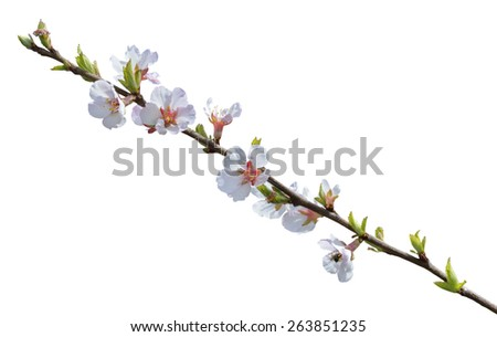 A close up of the blooming branch of a cherry-tree. Isolated on white. - stock photo