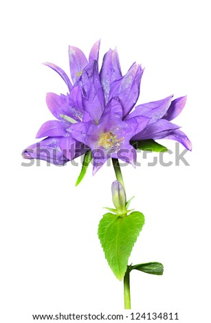 A close up of the blue flowers (Campanula cephalotes). Isolated on white. - stock photo