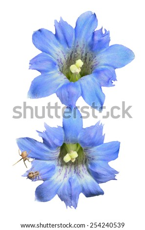 A close up of the blue flowers (Gentiana scabra) with two small spiders on petals. Isolated on white. - stock photo