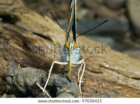 A close up of the butterfly (Apatura schrencki). - stock photo