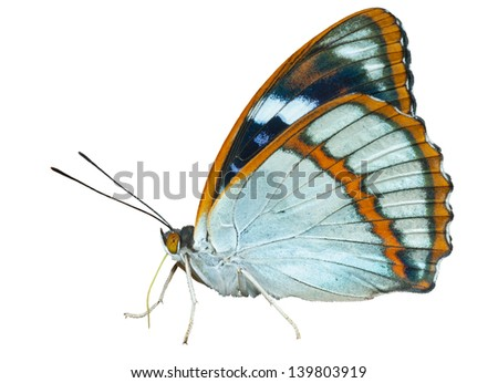A close up of the butterfly (Apatura schrencki), profile. Isolated on white. - stock photo