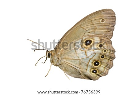 A close up of the butterfly (Lethe). Isolated on white. - stock photo