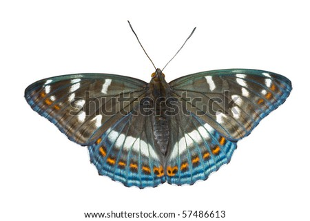 A close up of the butterfly (Limenitis populi ussuriensis). Isolated on white. - stock photo