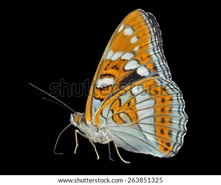 A close up of the butterfly (Limenitis populi ussuriensis), profile. Isolated on black. - stock photo