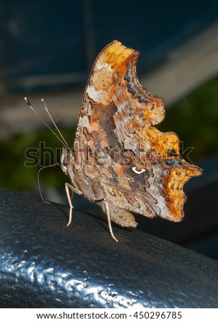 A close up of the butterfly (Polygonia C-album). - stock photo