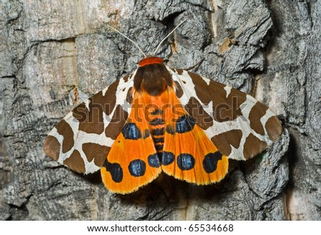 A close up of the butterfly tiger-moth (Arctia caja). - stock photo