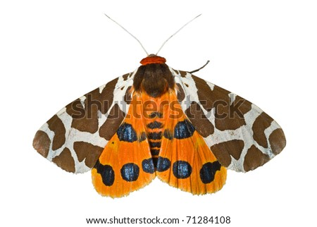 A close up of the butterfly tiger-moth (Arctia caja). Isolated on white. - stock photo
