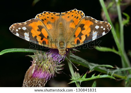 A close up of the butterfly (Vanessa cardui) (Painted lady) on flower of thistle.