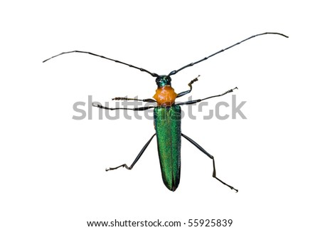 A close up of the Capricorn beetle (Cerambycidae). Isolated on white. - stock photo