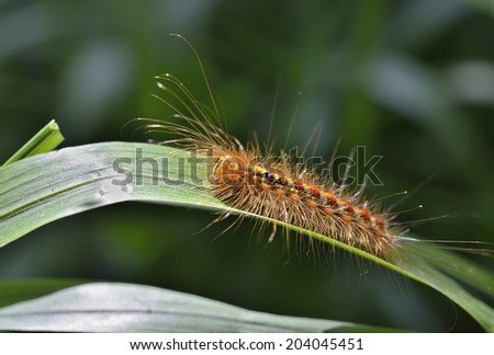 A close up of the caterpillar gypsy moph on leaf. - stock photo