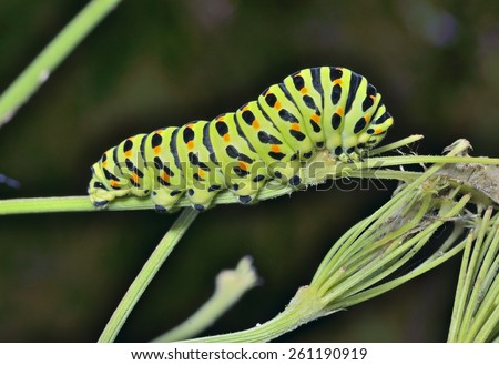 A close up of the caterpillar (Papilio xuthus) on grass. - stock photo