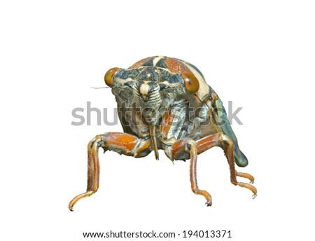 A close up of the cicada (Tibicen bihamatus). Isolated on white. - stock photo