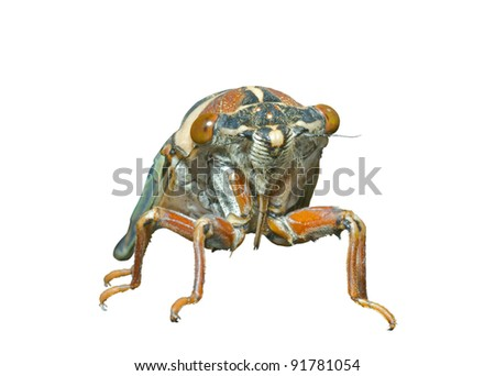 A close up of the cicada (Tibicen bihamatus). Isolated on white.