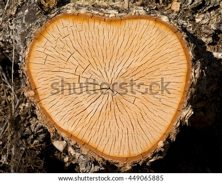 A close up of the cut of a yellow birch. - stock photo