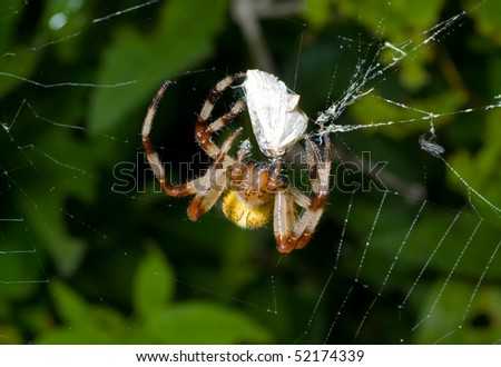 A close up of the doe of spider on spider-web with butterfly caught by it. - stock photo