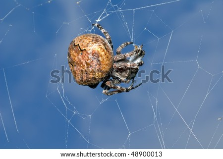 A close up of the doe of spider on spider-web with insect caught by it.