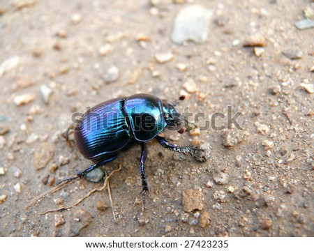 A close up of the dor-beetle crawling on ground.