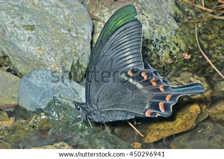 A close up of the drinking butterfly (Papilio maackii). - stock photo
