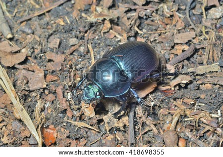 A close up of the dung-beetle. - stock photo