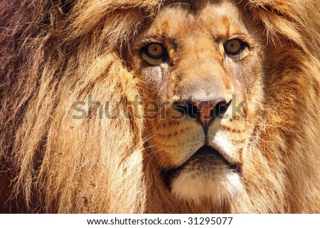 A close-up of the face and mane of a male African lion (panthera leo)