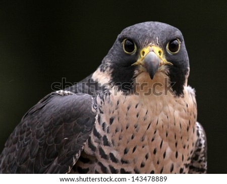 A close-up of the face of a Peregrine Falcon (Falco peregrinus) staring at the camera.  These birds are the fastest animals in the world.  - stock photo