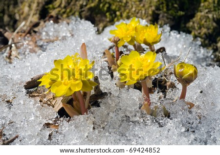 A close up of the first flowers pheasant's eye (Adonis) among melting snow. Early spring. - stock photo