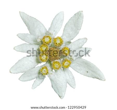 A close up of the flower edelweiss (Leontopodium pallibinianum). Isolated on white. - stock photo