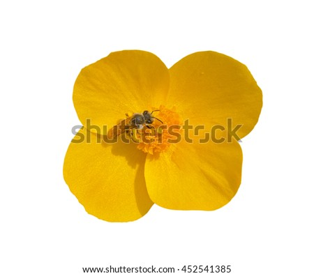 A close up of the flower (Hylomecon vernalis) with bee. Isolated on white. - stock photo