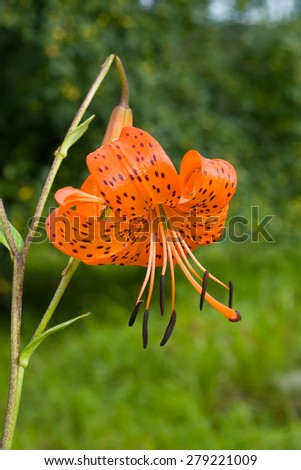 A close-up of the flower of lily (Lilium pseudotigrinum). - stock photo
