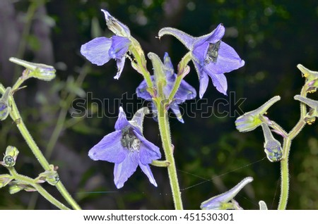 A close up of the flowers larkspur (Delphinium maackianum). - stock photo
