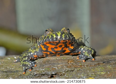 A close up of the frog (Far-eastern Fire-bellied Toad) (Bombina orientalis). - stock photo