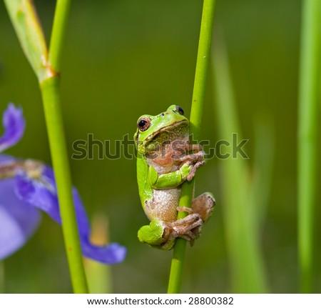 A close up of the frog hyla (Hyla japonica) on stem of iris. - stock photo