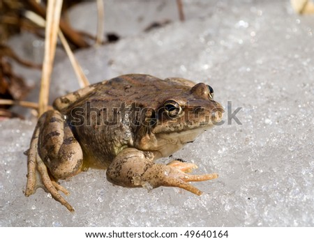 A close up of the frog on ice. Early spring.
